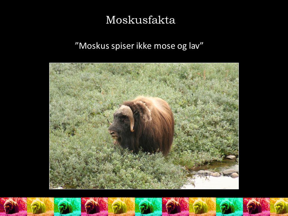 Moskusfakta Moskus spiser ikke mose og lav