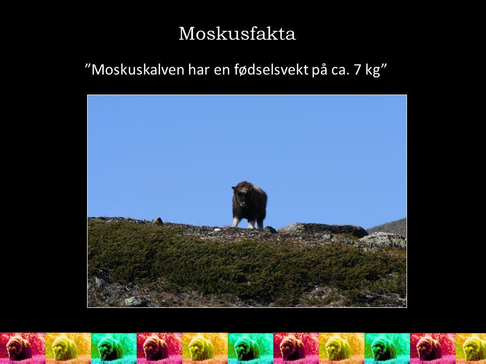 """Moskusfakta """"Moskuskalven har en fødselsvekt på ca. 7 kg"""""""