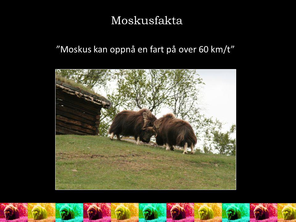 """Moskusfakta """"Moskus kan oppnå en fart på over 60 km/t"""""""