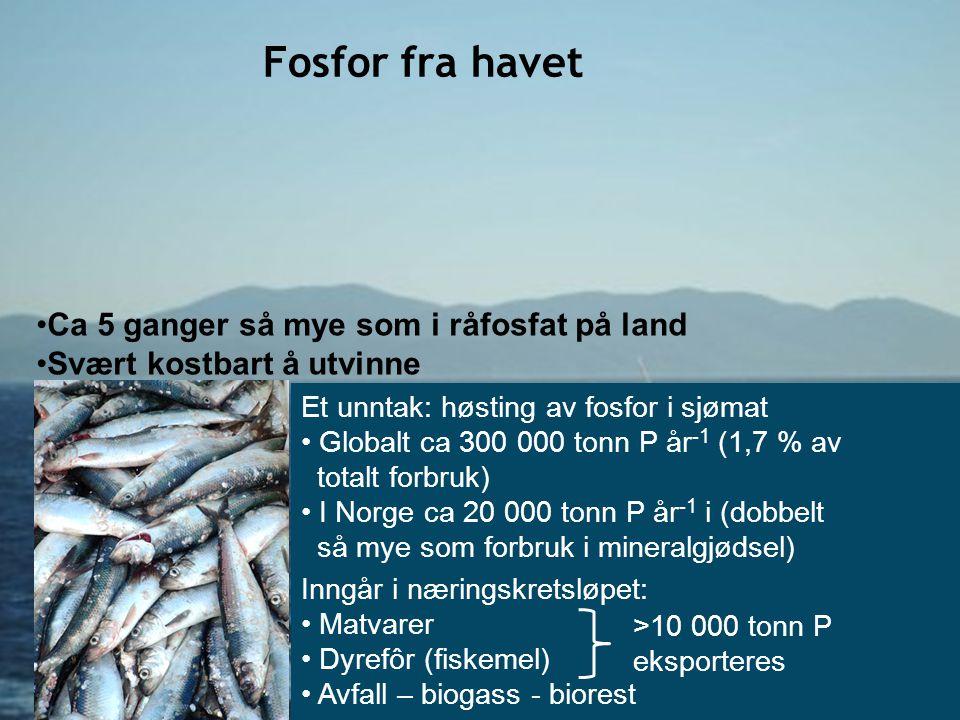 •Ca 5 ganger så mye som i råfosfat på land •Svært kostbart å utvinne Fosfor fra havet Et unntak: høsting av fosfor i sjømat • Globalt ca 300 000 tonn
