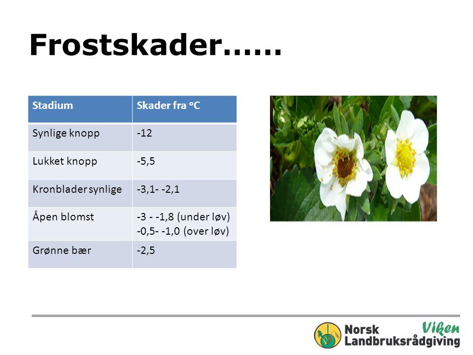 Frostskader…… StadiumSkader fra o C Synlige knopp-12 Lukket knopp-5,5 Kronblader synlige-3,1- -2,1 Åpen blomst-3 - -1,8 (under løv) -0,5- -1,0 (over løv) Grønne bær-2,5