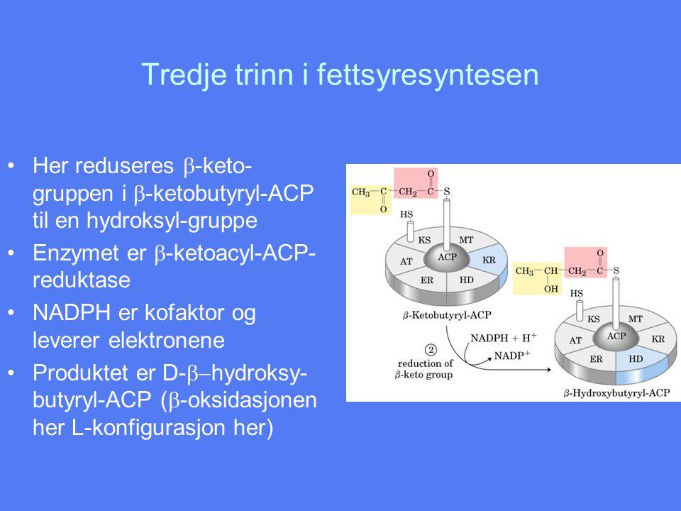 Tredje trinn i fettsyresyntesen •Her reduseres  -keto- gruppen i  -ketobutyryl-ACP til en hydroksyl-gruppe •Enzymet er  -ketoacyl-ACP- reduktase •N