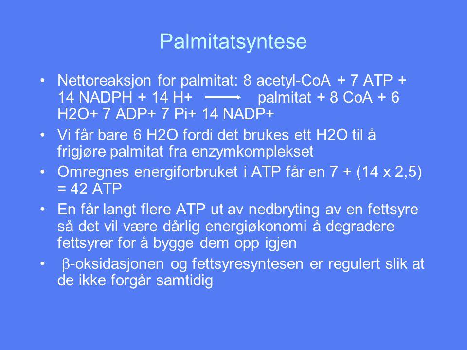 Palmitatsyntese •Nettoreaksjon for palmitat: 8 acetyl-CoA + 7 ATP + 14 NADPH + 14 H+ palmitat + 8 CoA + 6 H2O+ 7 ADP+ 7 Pi+ 14 NADP+ •Vi får bare 6 H2O fordi det brukes ett H2O til å frigjøre palmitat fra enzymkomplekset •Omregnes energiforbruket i ATP får en 7 + (14 x 2,5) = 42 ATP •En får langt flere ATP ut av nedbryting av en fettsyre så det vil være dårlig energiøkonomi å degradere fettsyrer for å bygge dem opp igjen •  -oksidasjonen og fettsyresyntesen er regulert slik at de ikke forgår samtidig