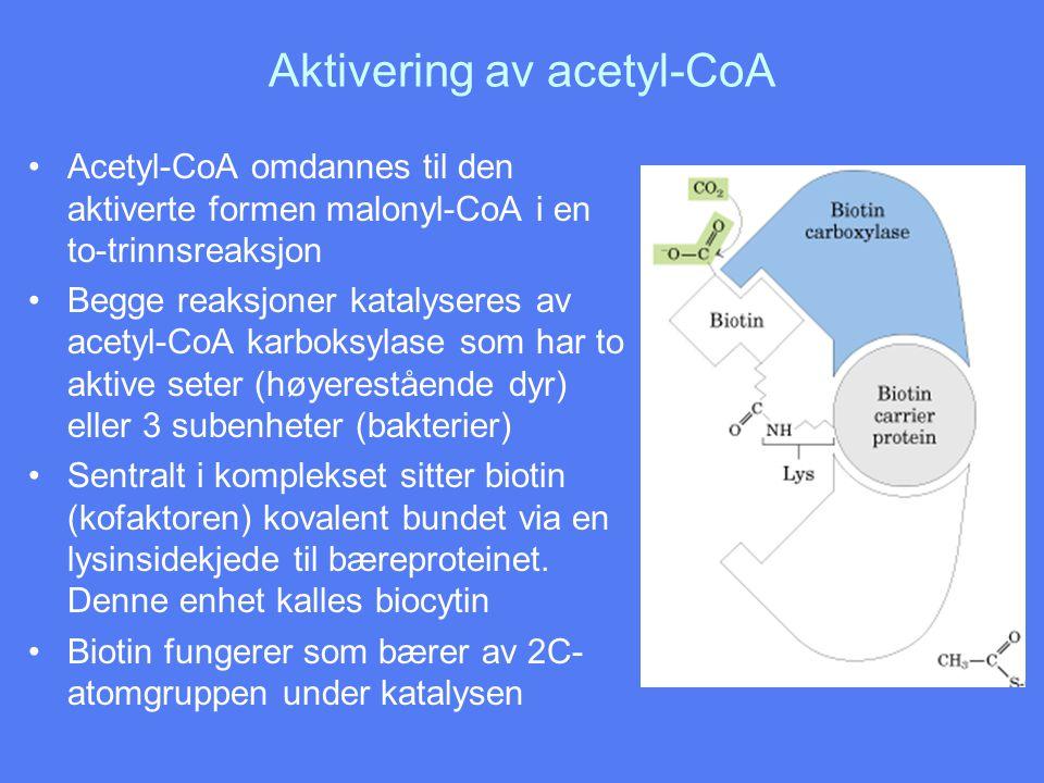 Aktivering av acetyl-CoA •Acetyl-CoA omdannes til den aktiverte formen malonyl-CoA i en to-trinnsreaksjon •Begge reaksjoner katalyseres av acetyl-CoA karboksylase som har to aktive seter (høyerestående dyr) eller 3 subenheter (bakterier) •Sentralt i komplekset sitter biotin (kofaktoren) kovalent bundet via en lysinsidekjede til bæreproteinet.