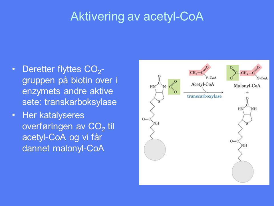 Aktivering av acetyl-CoA •Deretter flyttes CO 2 - gruppen på biotin over i enzymets andre aktive sete: transkarboksylase •Her katalyseres overføringen