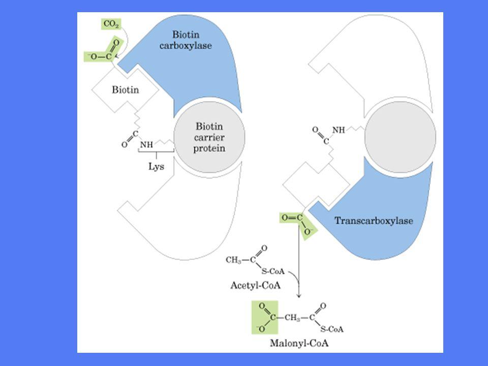 Fettsyresyntase •Fettsyresyntesen katalyseres av et multienzymkompleks fettsyresyntase •Dette komplekset utfører alle de seks involverte enzymreaksjonene •I E.coli består komplekset av 7 individuelle polypeptider, men hos menneske er det ét stort kompleks med 6 aktive seter •Det 7.