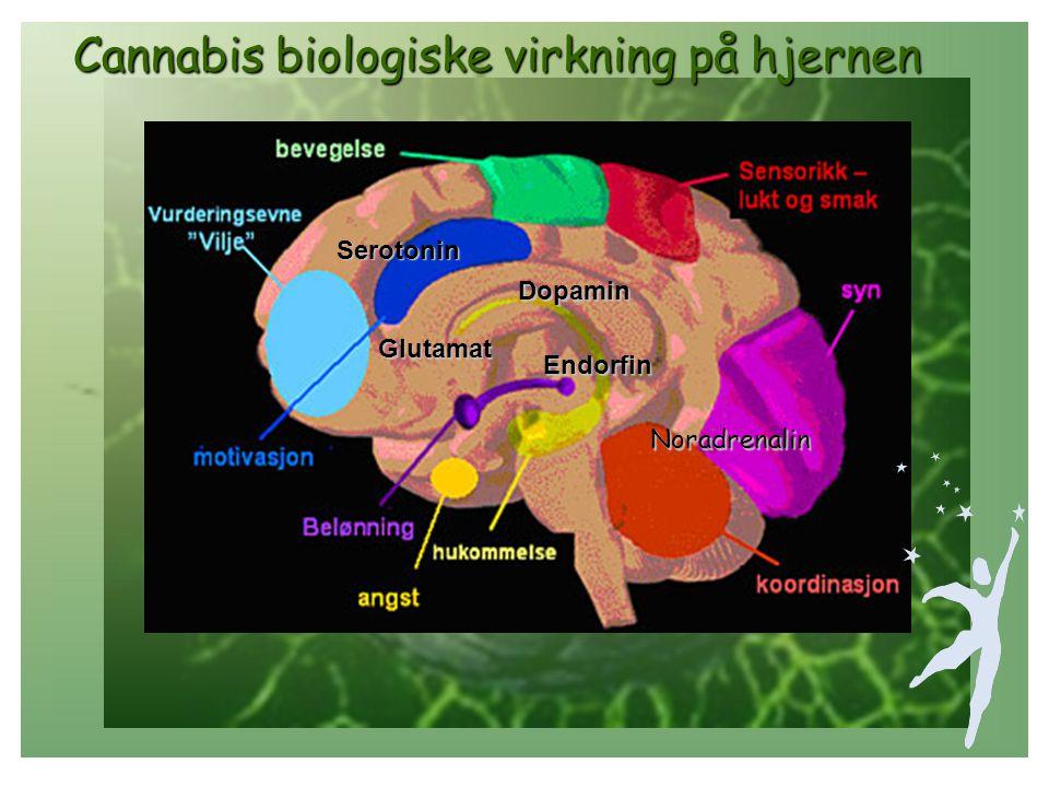 THC har en rekke relativt spesifikke virkninger THC har en rekke relativt spesifikke virkninger I nervesystemet: • rus, eufori • forsterkede sanseinntrykk • Sedasjon (beroligende virkning) • Kognitive (tankemessige) funksjoner reduseres • Psykomotoriske ferdigheter reduseres • Smertelindring • Kvalmedempende • Avhengighet, toleranse, abstinens • Også påvirkning på andre organsystemer: • Hjerte/kretsløp • Lunge/luftveier • Øye • Immunsystemet • Hormonelle systemer