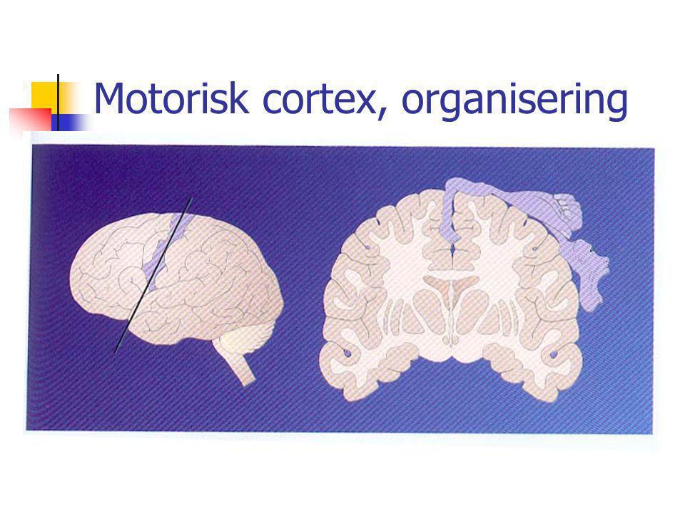 Motorisk cortex, organisering