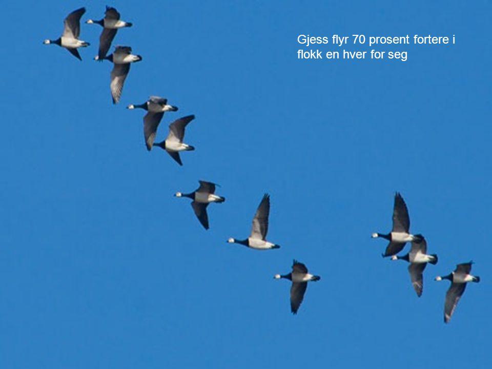 Gjess flyr 70 prosent fortere i flokk en hver for seg