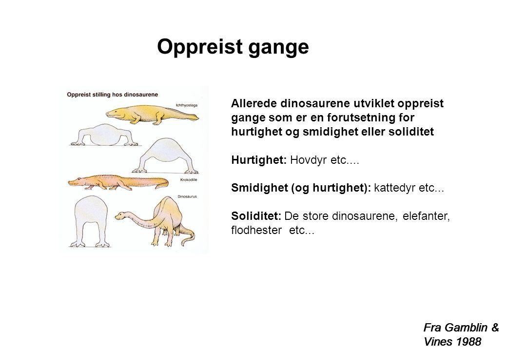 Fra Gamblin & Vines 1988 Allerede dinosaurene utviklet oppreist gange som er en forutsetning for hurtighet og smidighet eller soliditet Hurtighet: Hov