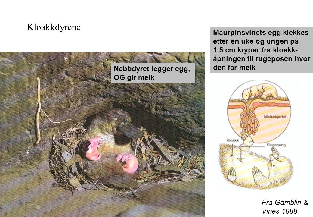 Fra Gamblin & Vines 1988 Kloakkdyrene Nebbdyret legger egg, OG gir melk Maurpinsvinets egg klekkes etter en uke og ungen på 1.5 cm kryper fra kloakk-