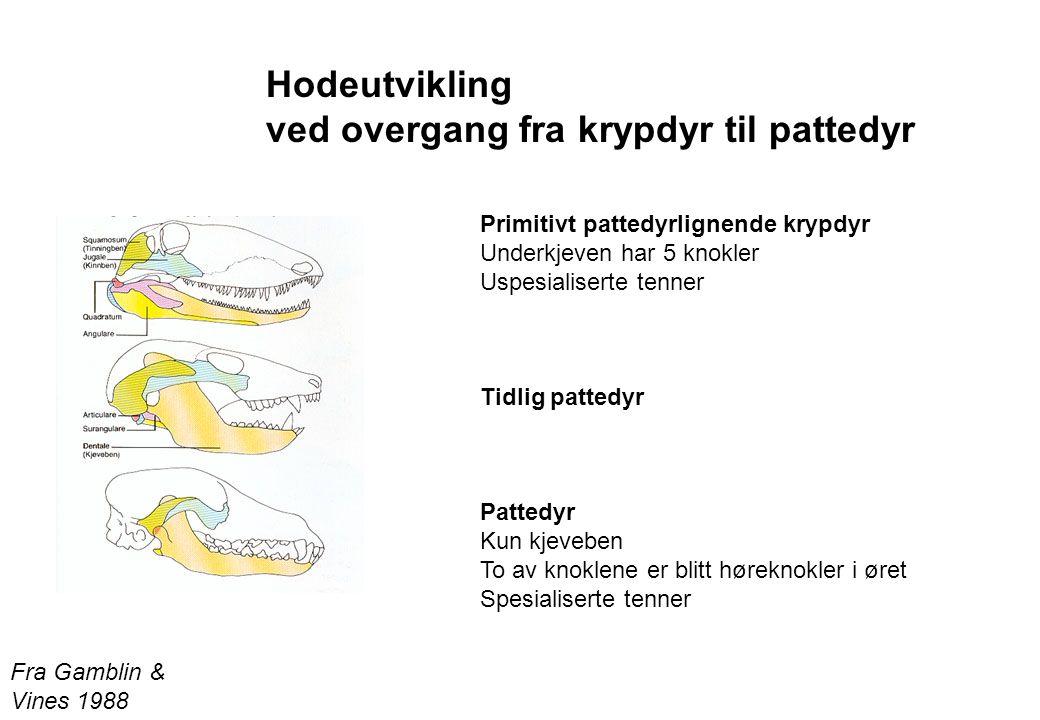 Fra Gamblin & Vines 1988 Hodeutvikling ved overgang fra krypdyr til pattedyr Primitivt pattedyrlignende krypdyr Underkjeven har 5 knokler Uspesialiser
