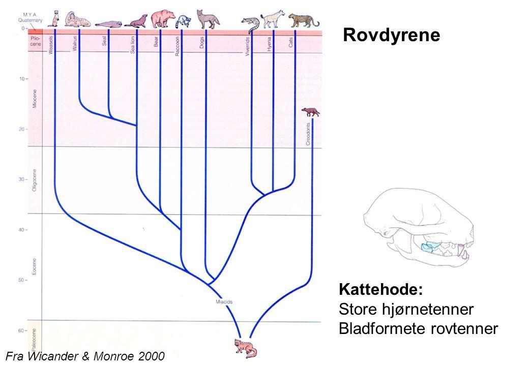 Rovdyrene Kattehode: Store hjørnetenner Bladformete rovtenner Fra Wicander & Monroe 2000