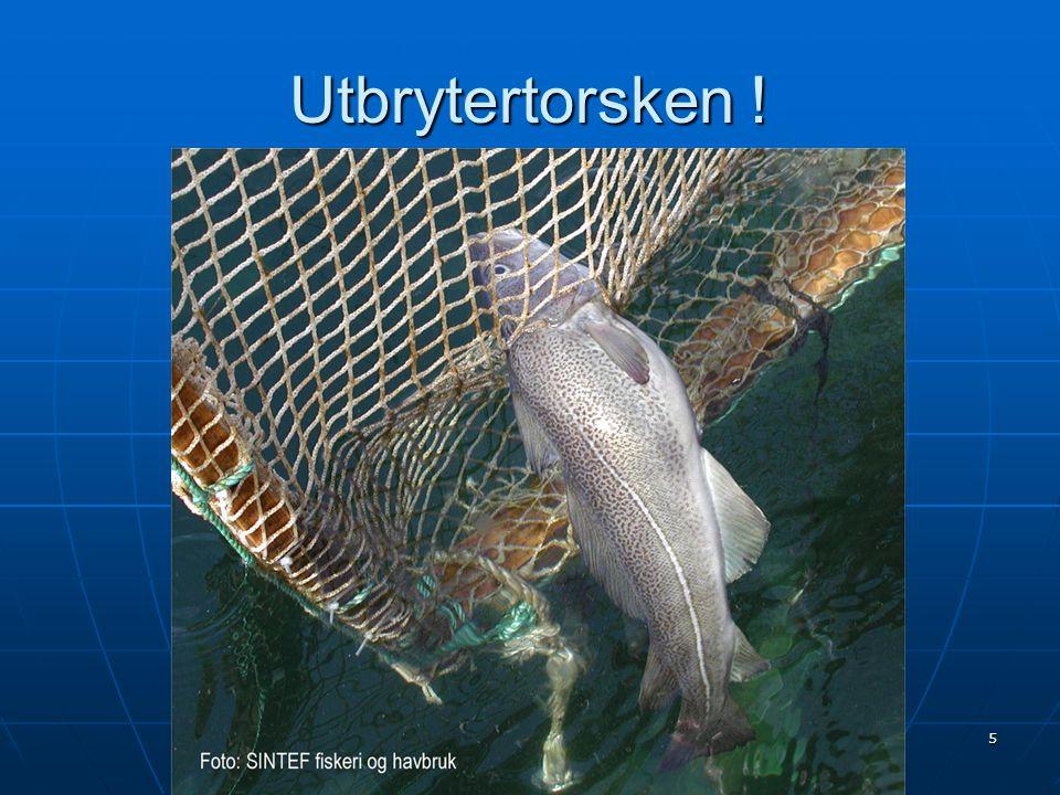 16 Rømt torsk (Fiskeridirektoratet)  Rømming av torsk fra oppdrett 2001 – mai 2005  Totalt rapportert 220.000 fisk (19 tilfeller)  75.000 rømte i 2004  148.000 rømt i 2005 pr.