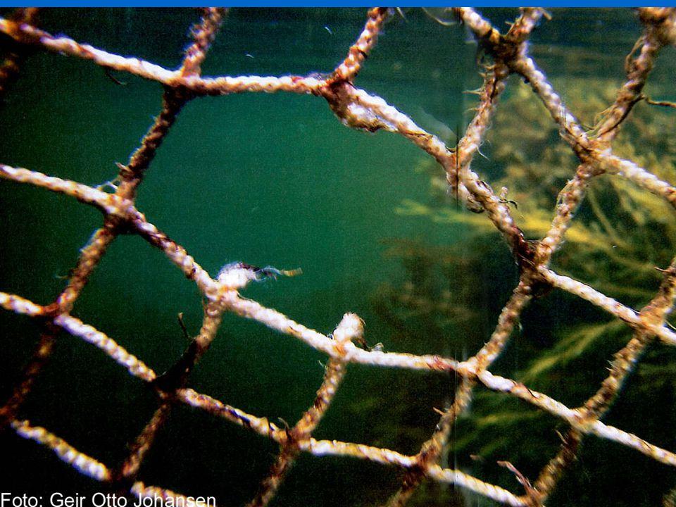 7 Bilder av not med hull spist av torsken