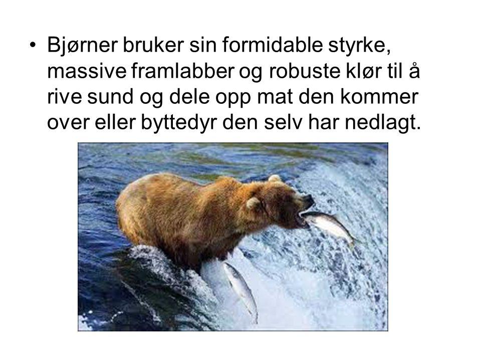 •Bjørner bruker sin formidable styrke, massive framlabber og robuste klør til å rive sund og dele opp mat den kommer over eller byttedyr den selv har nedlagt.