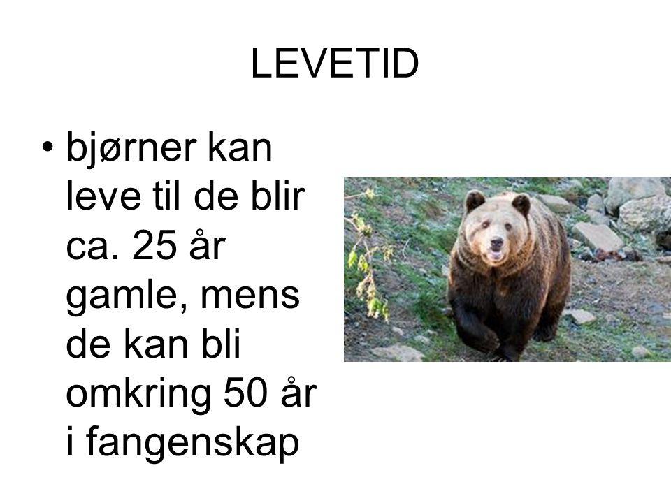 LEVETID •bjørner kan leve til de blir ca. 25 år gamle, mens de kan bli omkring 50 år i fangenskap