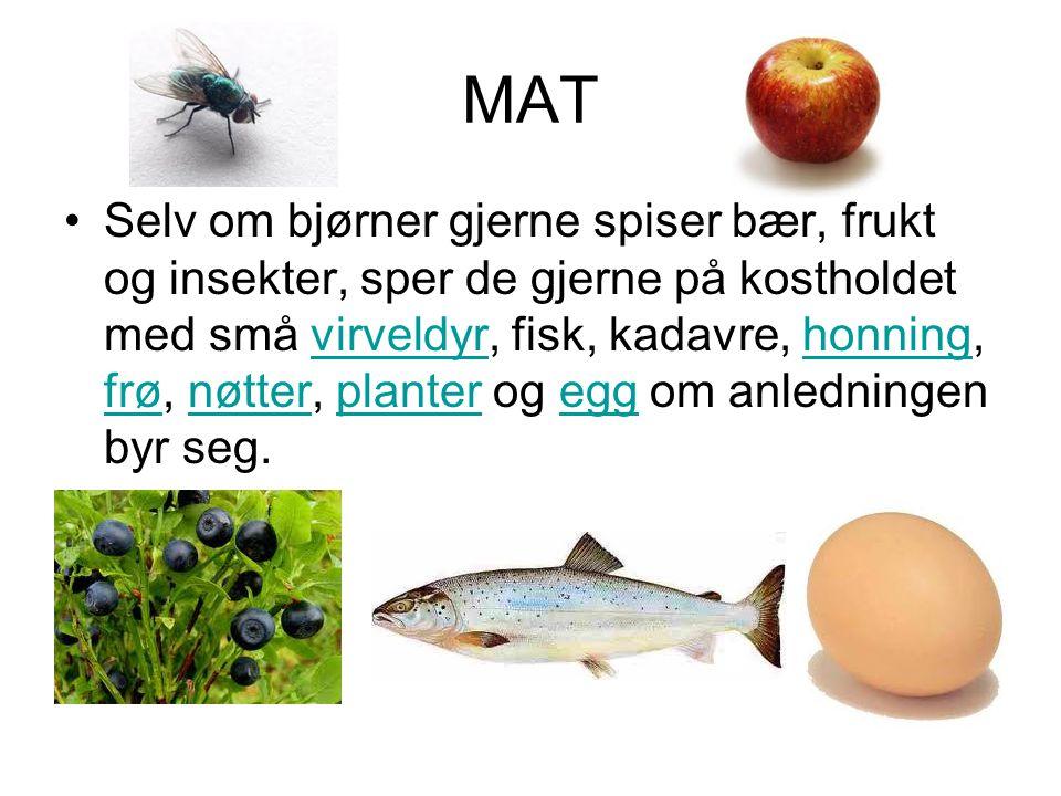 MAT •Selv om bjørner gjerne spiser bær, frukt og insekter, sper de gjerne på kostholdet med små virveldyr, fisk, kadavre, honning, frø, nøtter, plante