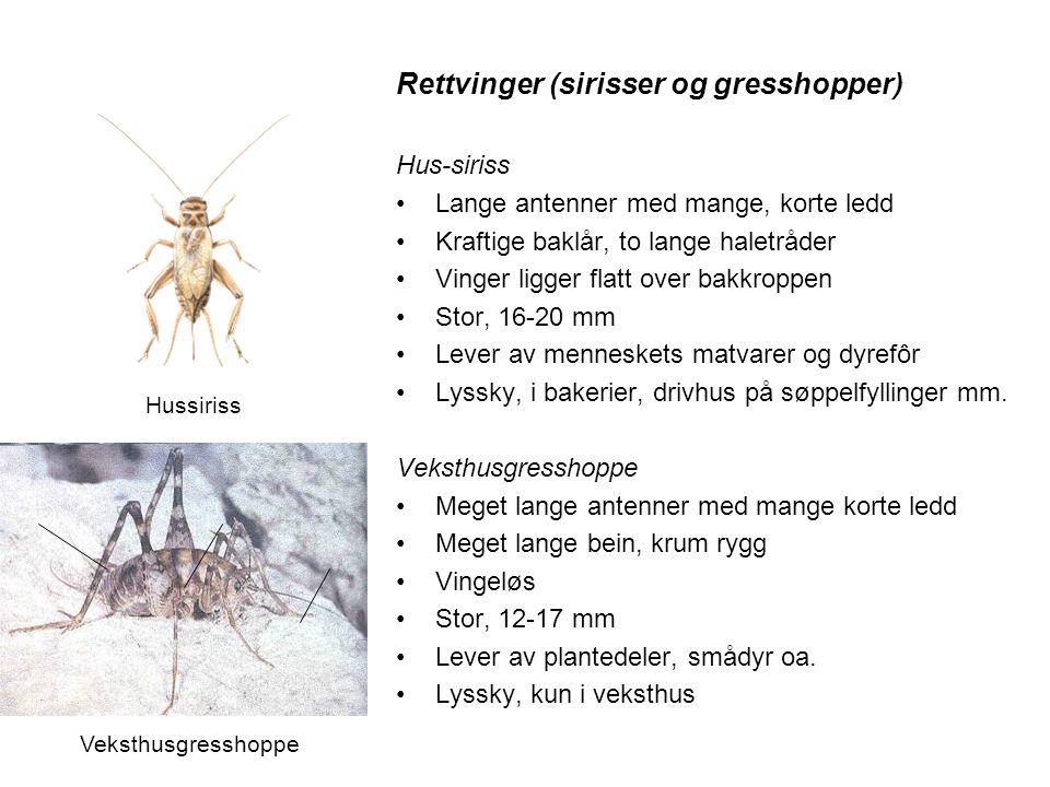 Rettvinger (sirisser og gresshopper) Hus-siriss •Lange antenner med mange, korte ledd •Kraftige baklår, to lange haletråder •Vinger ligger flatt over