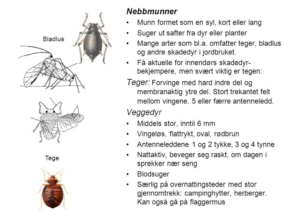 Nebbmunner •Munn formet som en syl, kort eller lang •Suger ut safter fra dyr eller planter •Mange arter som bl.a. omfatter teger, bladlus og andre ska