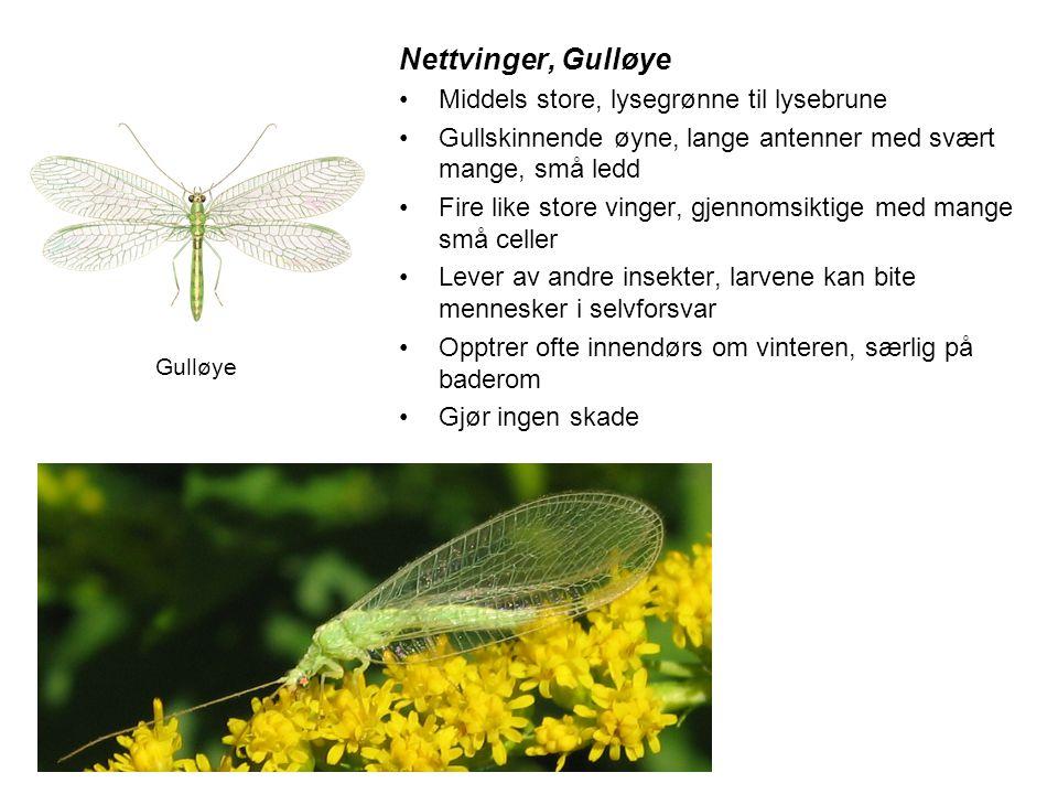 Nettvinger, Gulløye •Middels store, lysegrønne til lysebrune •Gullskinnende øyne, lange antenner med svært mange, små ledd •Fire like store vinger, gj