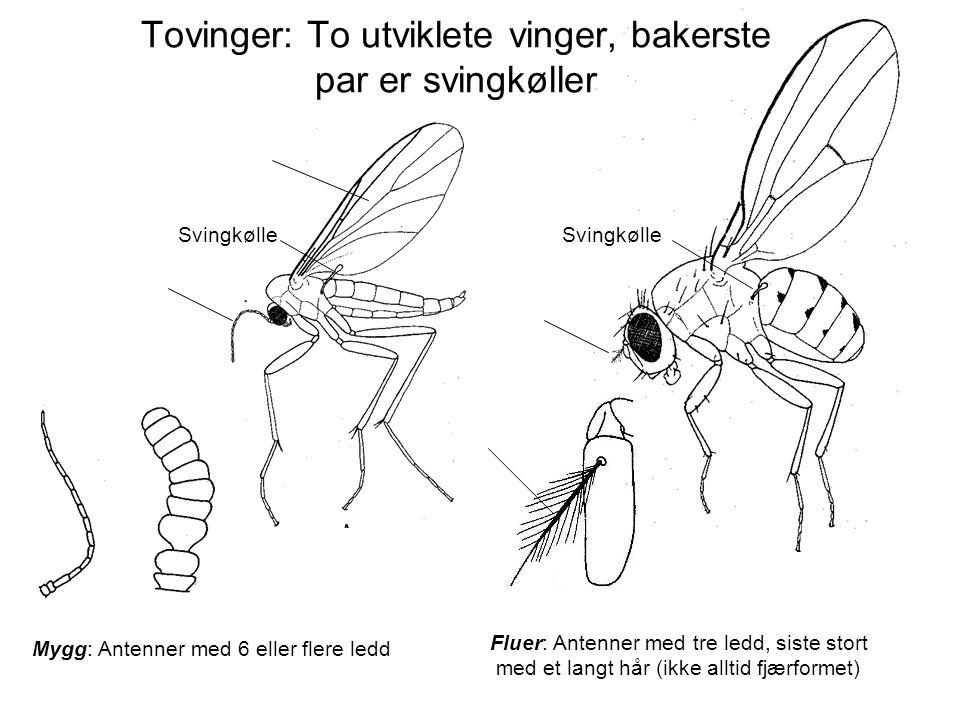 Mygg: Antenner med 6 eller flere ledd Fluer: Antenner med tre ledd, siste stort med et langt hår (ikke alltid fjærformet) Svingkølle Tovinger: To utvi