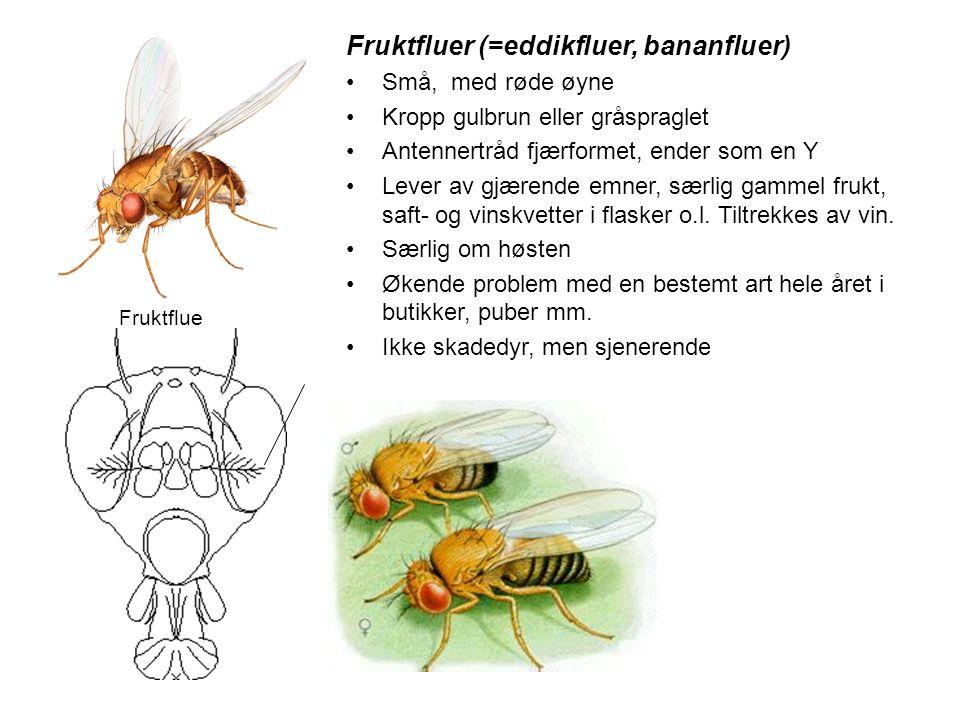 Fruktfluer (=eddikfluer, bananfluer) •Små, med røde øyne •Kropp gulbrun eller gråspraglet •Antennertråd fjærformet, ender som en Y •Lever av gjærende