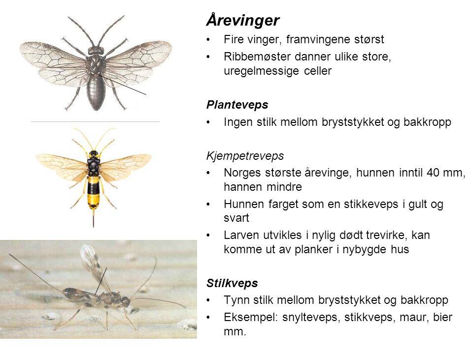 Årevinger •Fire vinger, framvingene størst •Ribbemøster danner ulike store, uregelmessige celler Planteveps •Ingen stilk mellom bryststykket og bakkro