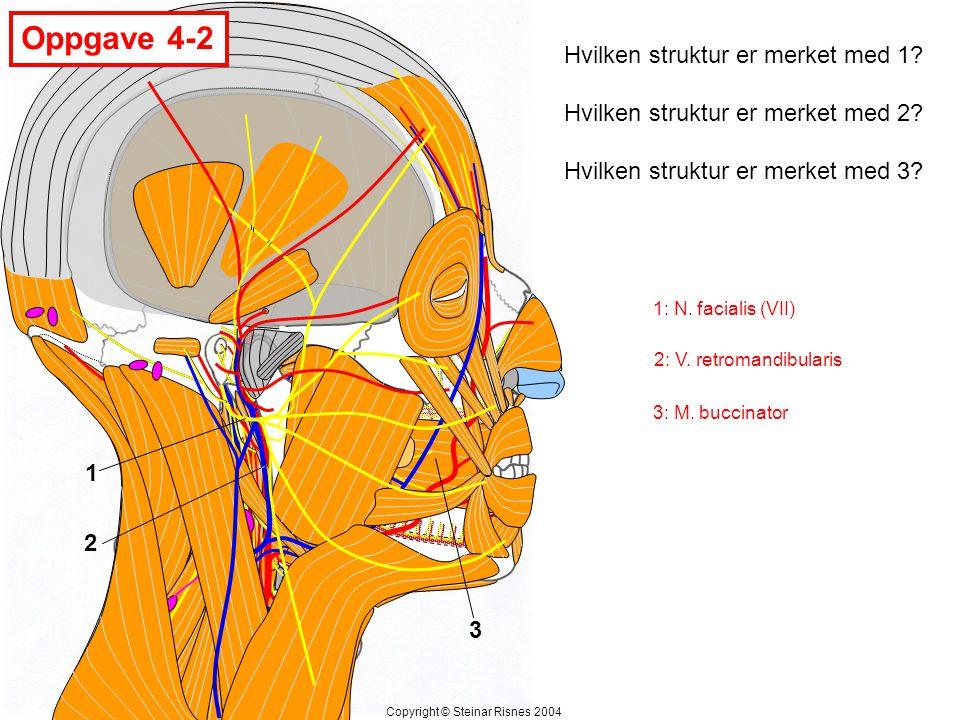 1 2 3 Hvilken struktur er merket med 1? Hvilken struktur er merket med 2? Hvilken struktur er merket med 3? Oppgave 4-2 Copyright © Steinar Risnes 200