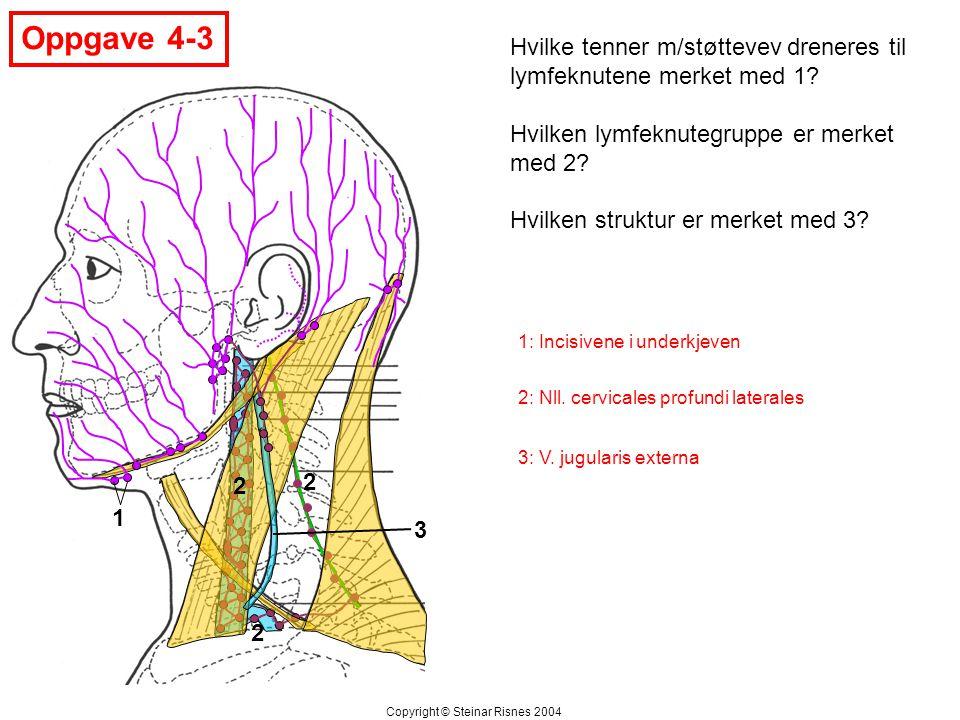 Oppgave 4-4 2 3 1 Hvilken muskel (1) kan ved enkeltsidig virkning dra mandibula til motsatt side.