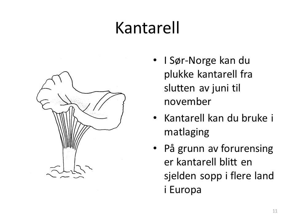 Kantarell • I Sør-Norge kan du plukke kantarell fra slutten av juni til november • Kantarell kan du bruke i matlaging • På grunn av forurensing er kan