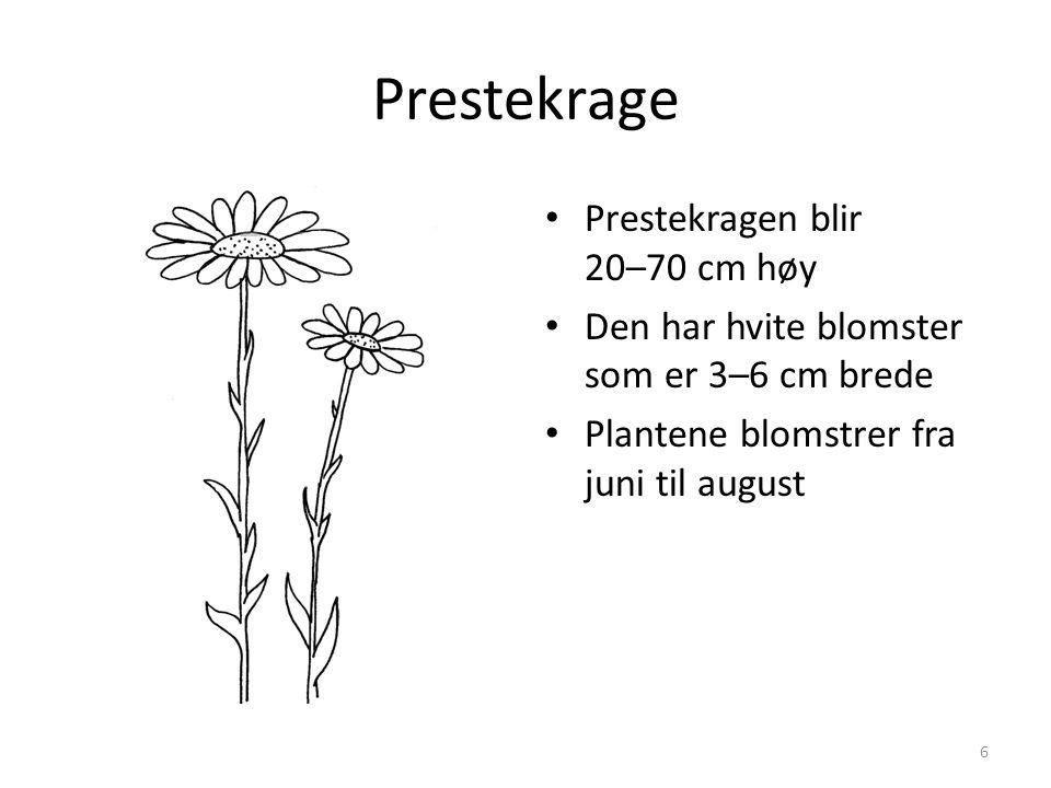 Prestekrage • Prestekragen blir 20–70 cm høy • Den har hvite blomster som er 3–6 cm brede • Plantene blomstrer fra juni til august 6