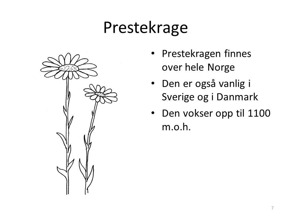 Prestekrage • Prestekragen finnes over hele Norge • Den er også vanlig i Sverige og i Danmark • Den vokser opp til 1100 m.o.h.
