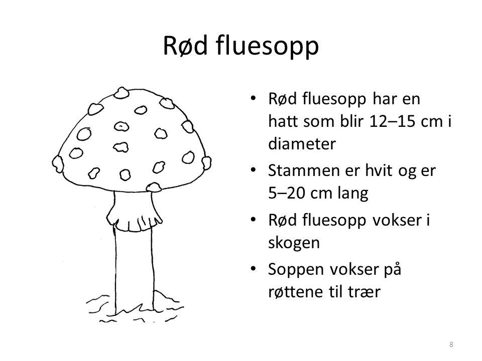 Rød fluesopp • Rød fluesopp har en hatt som blir 12–15 cm i diameter • Stammen er hvit og er 5–20 cm lang • Rød fluesopp vokser i skogen • Soppen vokser på røttene til trær 8