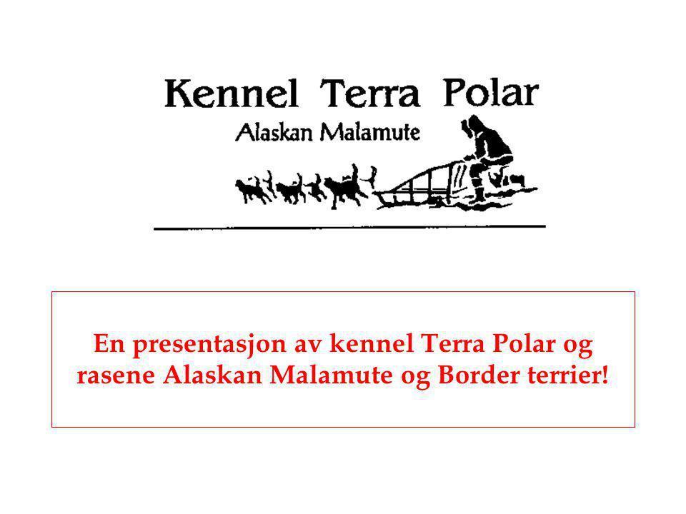 En presentasjon av kennel Terra Polar og rasene Alaskan Malamute og Border terrier!
