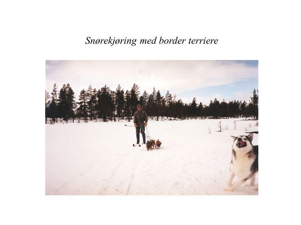Kort historikk Border Terrieren er en engelsk terrier som kommer fra grenseområdet mellom England og Skottland.