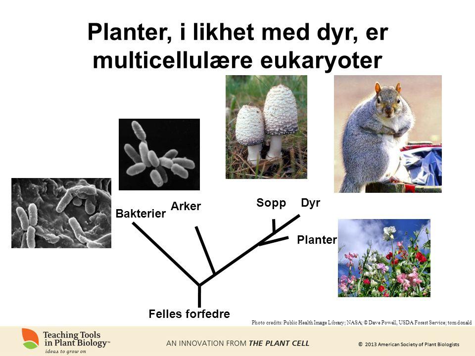 © 2013 American Society of Plant Biologists Planter, i likhet med dyr, er multicellulære eukaryoter Bakterier Arker Dyr Planter Sopp Felles forfedre P