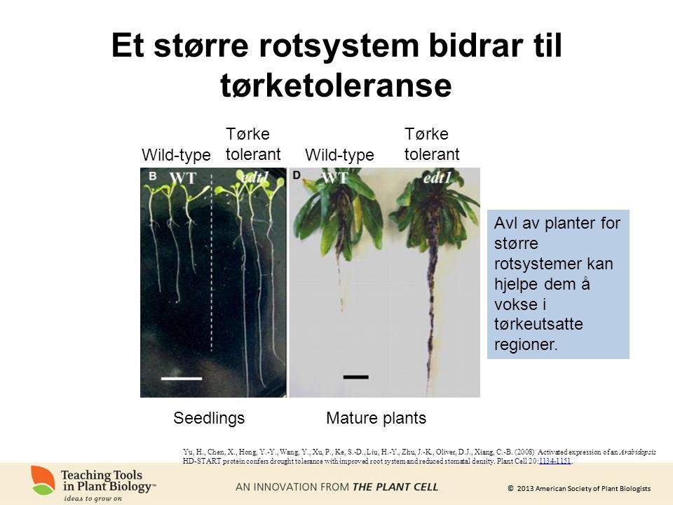 © 2013 American Society of Plant Biologists Et større rotsystem bidrar til tørketoleranse SeedlingsMature plants Wild-type Tørke tolerant Avl av planter for større rotsystemer kan hjelpe dem å vokse i tørkeutsatte regioner.