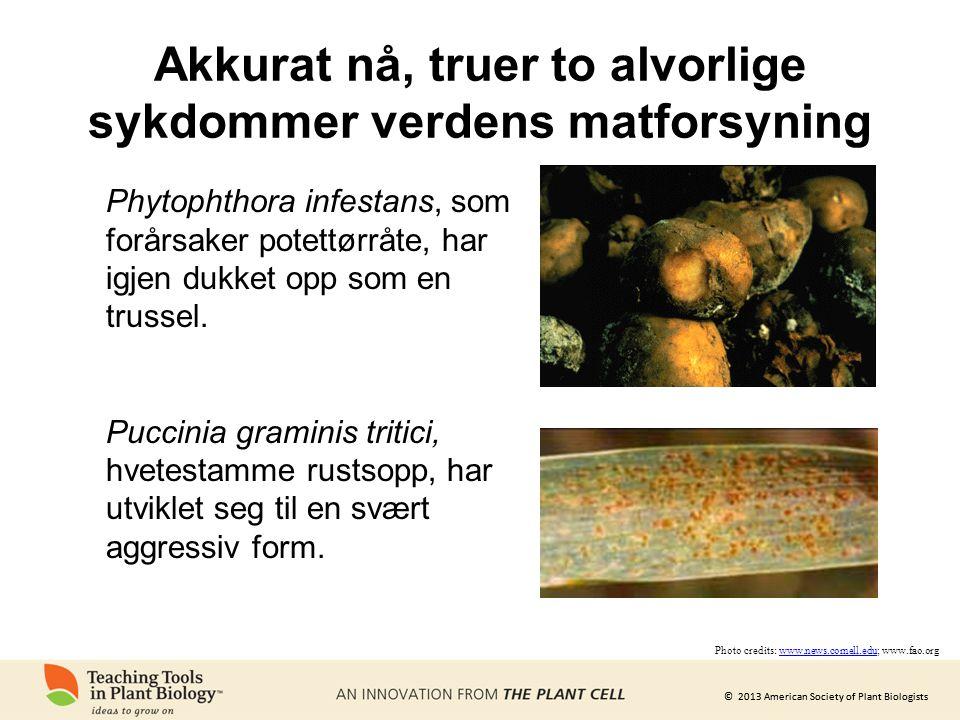 © 2013 American Society of Plant Biologists Akkurat nå, truer to alvorlige sykdommer verdens matforsyning Photo credits: www.news.cornell.edu; www.fao