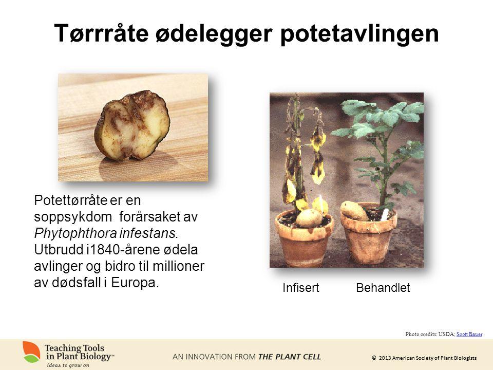 © 2013 American Society of Plant Biologists Tørrråte ødelegger potetavlingen Potettørråte er en soppsykdom forårsaket av Phytophthora infestans. Utbru