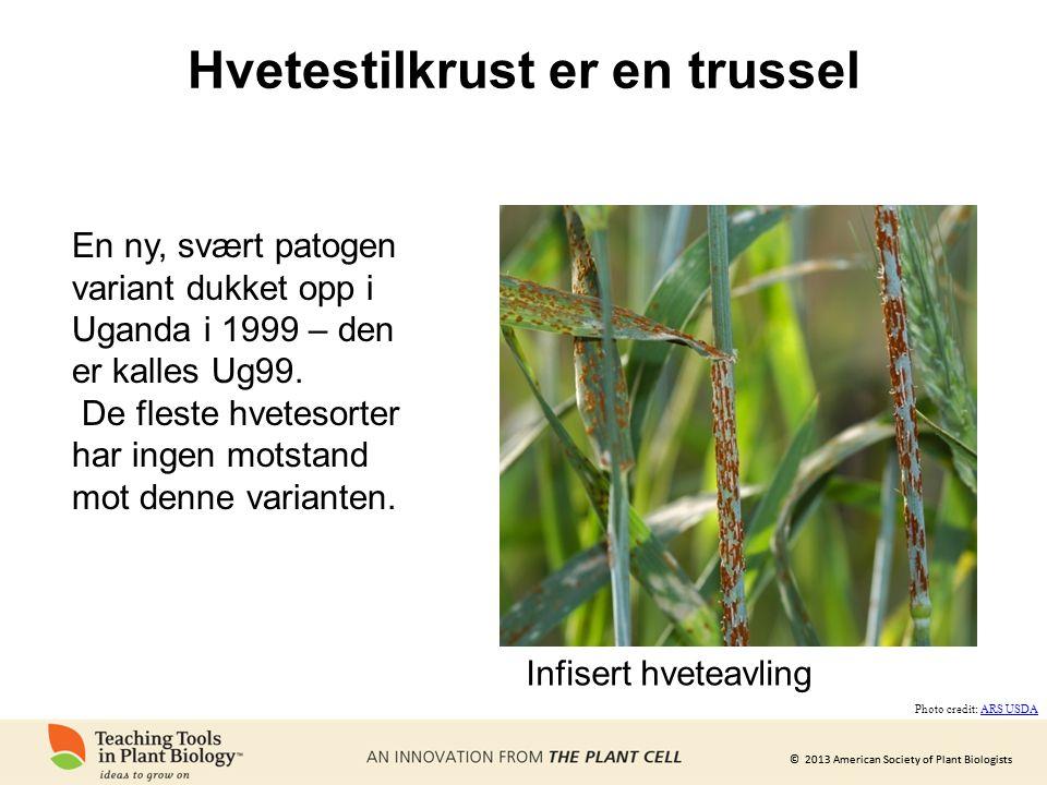 © 2013 American Society of Plant Biologists Hvetestilkrust er en trussel Infisert hveteavling Photo credit: ARS USDAARS USDA En ny, svært patogen vari