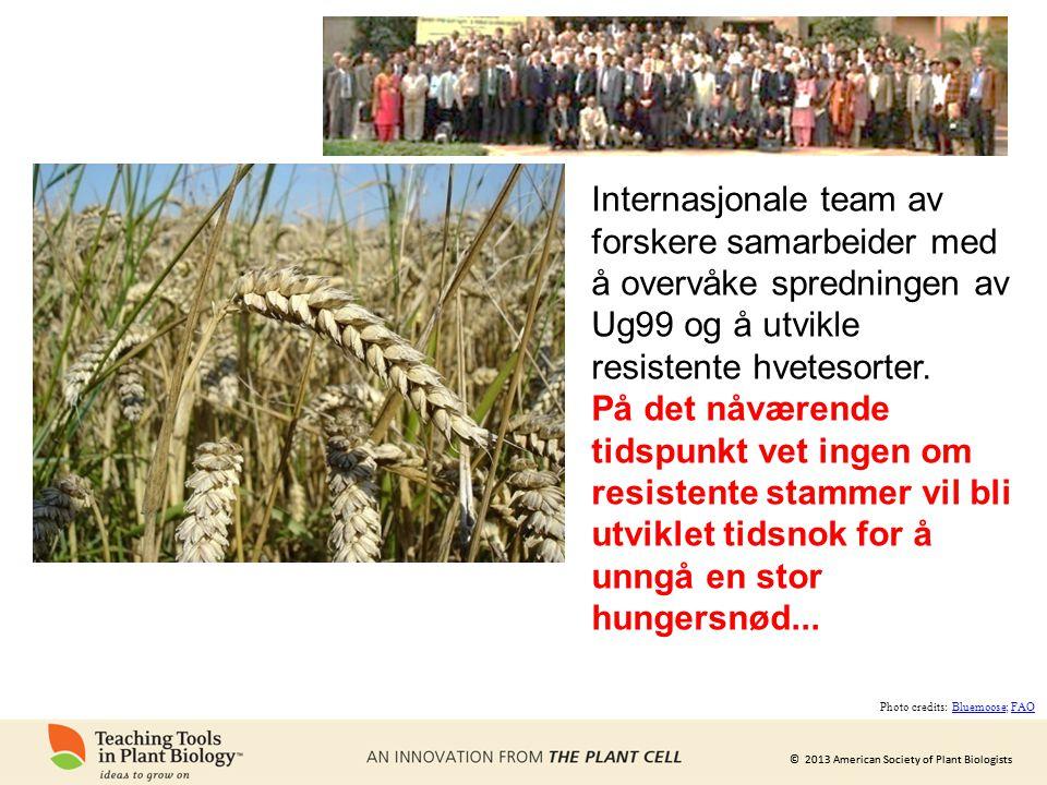 © 2013 American Society of Plant Biologists Internasjonale team av forskere samarbeider med å overvåke spredningen av Ug99 og å utvikle resistente hvetesorter.