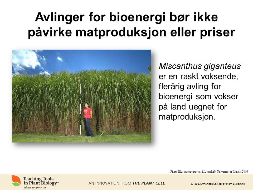© 2013 American Society of Plant Biologists Avlinger for bioenergi bør ikke påvirke matproduksjon eller priser Miscanthus giganteus er en raskt voksende, flerårig avling for bioenergi som vokser på land uegnet for matproduksjon.
