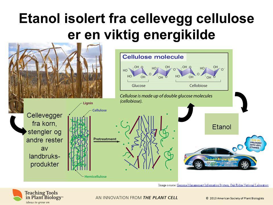 © 2013 American Society of Plant Biologists Etanol isolert fra cellevegg cellulose er en viktig energikilde Cellevegger fra korn, stengler og andre re