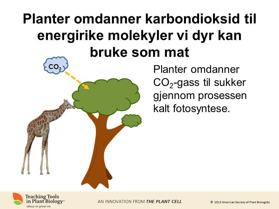 © 2013 American Society of Plant Biologists Planter omdanner karbondioksid til energirike molekyler vi dyr kan bruke som mat CO 2 Planter omdanner CO 2 -gass til sukker gjennom prosessen kalt fotosyntese.