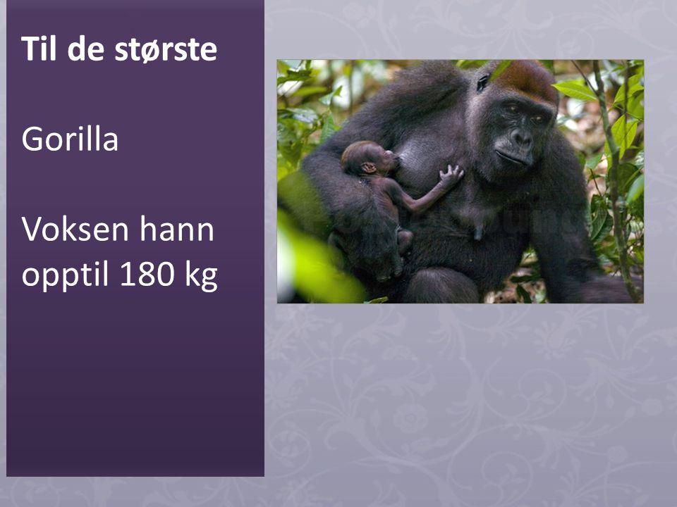 Til de største Gorilla Voksen hann opptil 180 kg