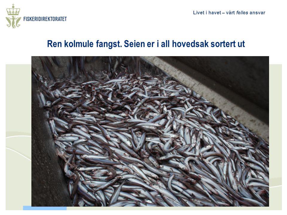 """Livet i havet – vårt felles ansvar Utsorteringsresultat  Fangstrate sei (oppsamlingspose):500 kg til 16 tonn/hal  Størrelse 35 til 110 cm, """"Kanten"""""""
