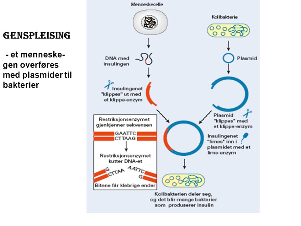 Genspleising - et menneske- gen overføres med plasmider til bakterier