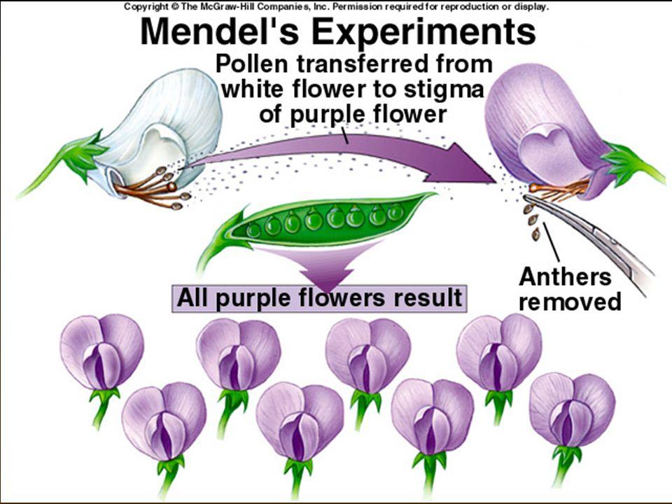 Mendel og erter • Mendel's eksperimentelle utforming  Tillot erteplanter å selvbestøve over flere generasjoner.