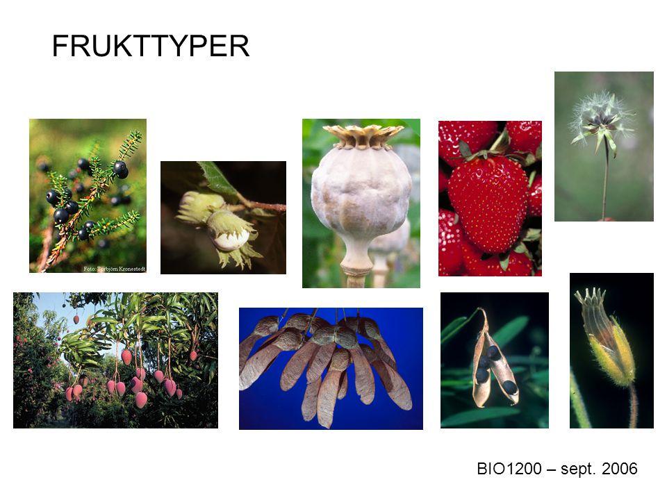 Akene (cypsela) Dannet av to fruktblad, er vokst sammen med blomsterbunnen Frukt karakteristisk for kurvplantefamilien (Asteraceae)